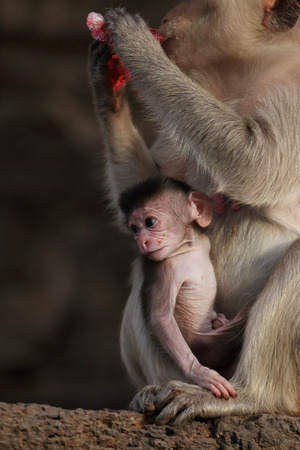 Mother monkey with her cute baby photo