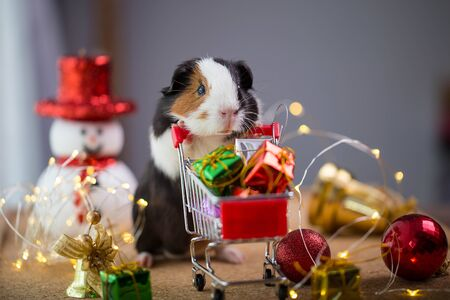 Cute guinea pig in Christmas.