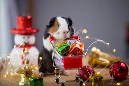 Cute guinea pig in Christmas.