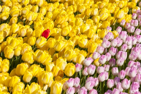 pinkish: Long rows of yellow and pinkish tulips  One red tulip among yellows