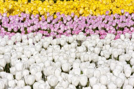 Flower beds with a lot of pinky, yellow and white tulips
