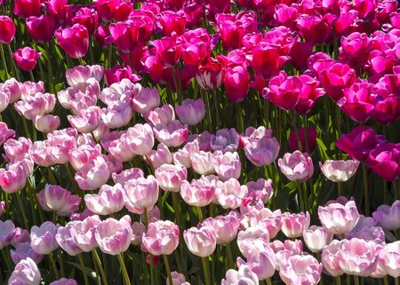 pinkish: Lot of rosy or pinkish tulips