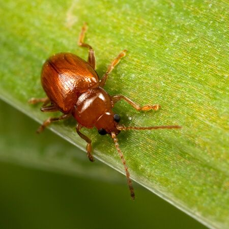 A red bug with black eyes called Lochmaea Caprea on the green leaf Stock Photo