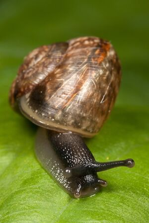 mucus: Snail with interesting textured shell creeping on a green leaf Stock Photo