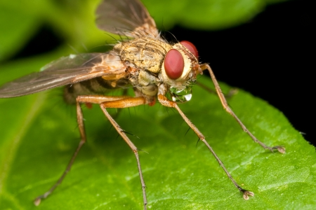 Yellowish-brownish fly with a water bubble under the jaw