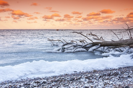 tree fallen into the sea at sunset Due to cold weather, tree branches are covered with ice and icicles