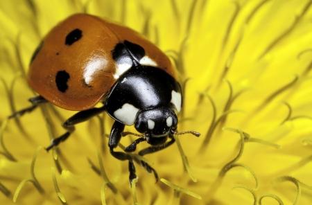 septempunctata: A close-up picture of a seven-spot ladybird  Coccinella Septempunctata  on dandelion