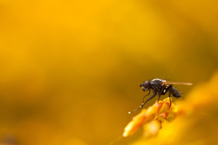housefly: Closeup of house-fly sitting or standing on a yellowish or orange plant on smooth yellow background