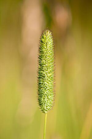 tuft: Green tuft of straw on a blurred greenish background
