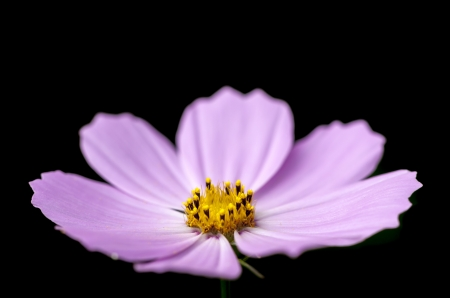 Purple blossom of a flower on a black background photo