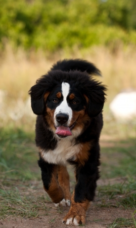 Bernese mountain dog on a easy jog and tongue out of his her mouth photo