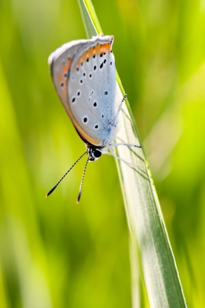 lycaeninae: A closeup photo of a butterfly on a green plant