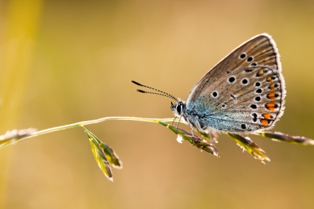 lycaeninae: A closeup of a butterfly on a plant Stock Photo