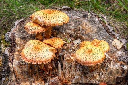 sump: Diversi funghi gialli o arancioni che crescono su un tronco d'albero