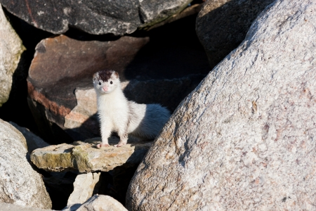 weasel: Little white weasel looking around on rocks