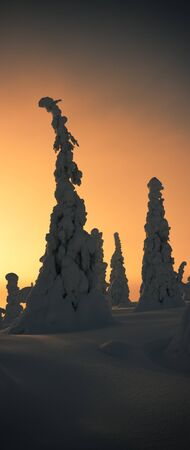 Tall slim snowy treest at sunset in Lapland, Finland Stock Photo