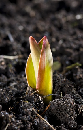burgeoning: Small burgeoning tulip with yellowish leaves with reddish edges in a soil