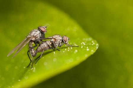 Two mating flies on green plant leaf