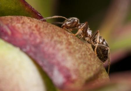 Closeup of a pharaoh ant on peony