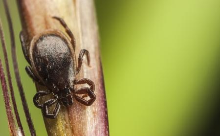 Dark brown tick on a plant stalk Stock fotó