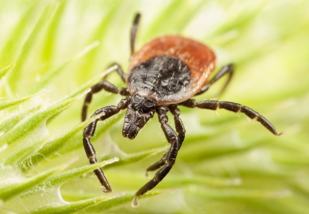 Closeup of a red backed tick on a  green plant Stock fotó