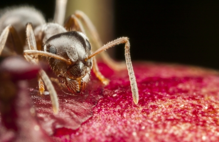 Closeup of a pharaoh ant on peony