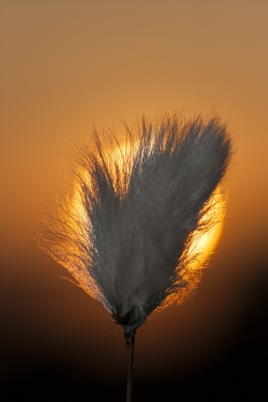 tuft: White tuft of a plant in front of sun