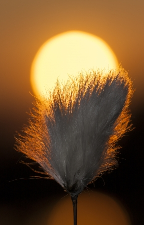 White tuft of a plant in front of sun