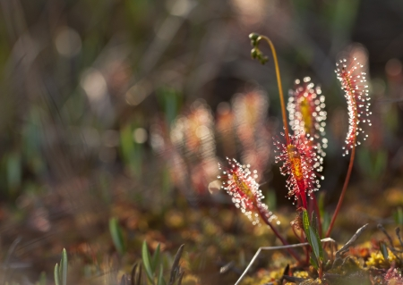 Closeup of a Great Sundew, also known as English sundew and Drosera anglica. The plant that eats insects, flyes and other small  animals. Stock Photo