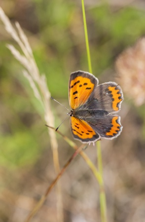Orange butterfly on a plant straw