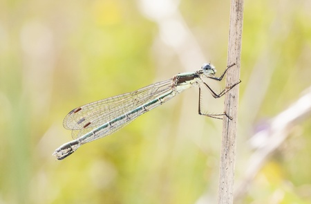 Dragonfly or damselfly on a plant straw in summer