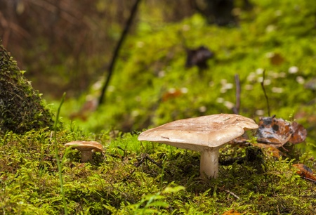 milkcap: False saffron milk-cap mushroom growing in forest in autumn
