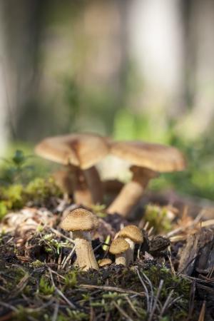 milkcap: Family of fenugreek milkcap mushrooms in forest