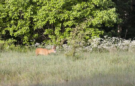 billygoat: Roebuck on hayfield near green forest Stock Photo