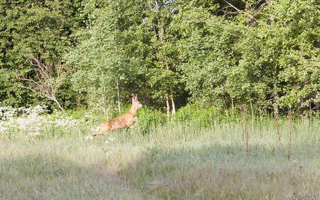 roebuck: Roebuck on hayfield near green forest Stock Photo