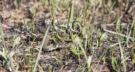 grass snake: Erba serpente o serpente anellato o Natrix natrix sul terreno in primavera Archivio Fotografico
