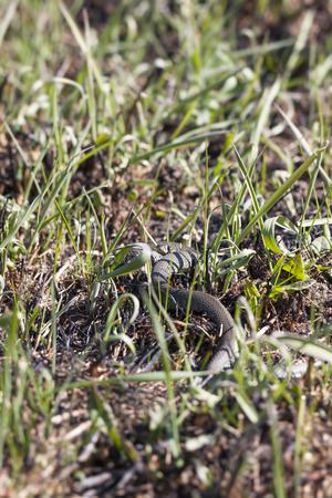 ringed: Grass snake or ringed snake or Natrix natrix on the ground in spring