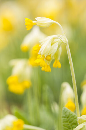 cowslip: Yellow cowslip or primrose flower at spring