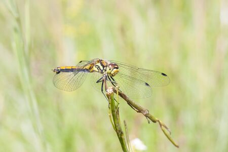 Yellow or orange dragonfly with black pattern on the tail sit on a plant straw Stock Photo