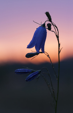 bell shaped: Closeup of a flower with blue bell shaped blossoms. The flower is known as bluebell.