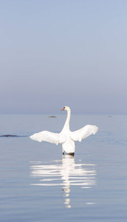 White swan wings wide open stands  in the sea