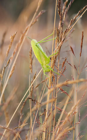 Close up of a big green grasshopper on a hay straw at warm golden sunlight