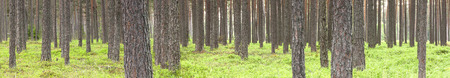 pinetree: Large panorama of a pine tree forest in summer. The ground is covered with fresh green plants.