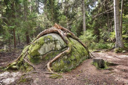 Big broken fir tree roots around big rock in forest Stockfoto