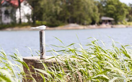 mew: Tern or mew sit on top of a pole behind green plants, sea in the background. Stock Photo