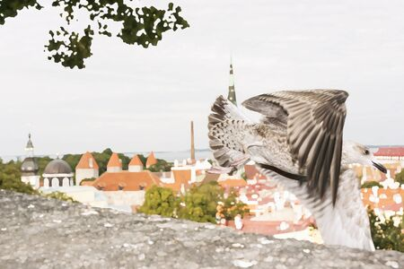 mew: Seagull fly in front of the panorama of Tallinn Old Town, Estonia
