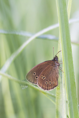 lepidoptera: Closeup of a brownish orange butterfly on a green plant leaf Stock Photo