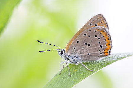 green butterfly: Closeup of a brownish orange butterfly on a green plant leaf Stock Photo