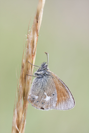 lepidoptera: Closeup of a small orange butterfly on a thick hay straw