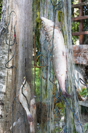fishingnet: Several fishes hang in a fishing net